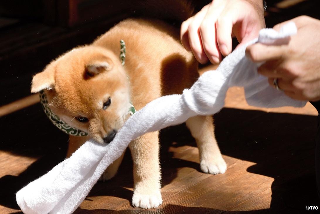 タオルを奪われたくない豆助。😁必死の形相。❤️20代目豆助。😍#柴犬 #shibainu #豆助 #puppy #子犬 #イッヌ #癒し