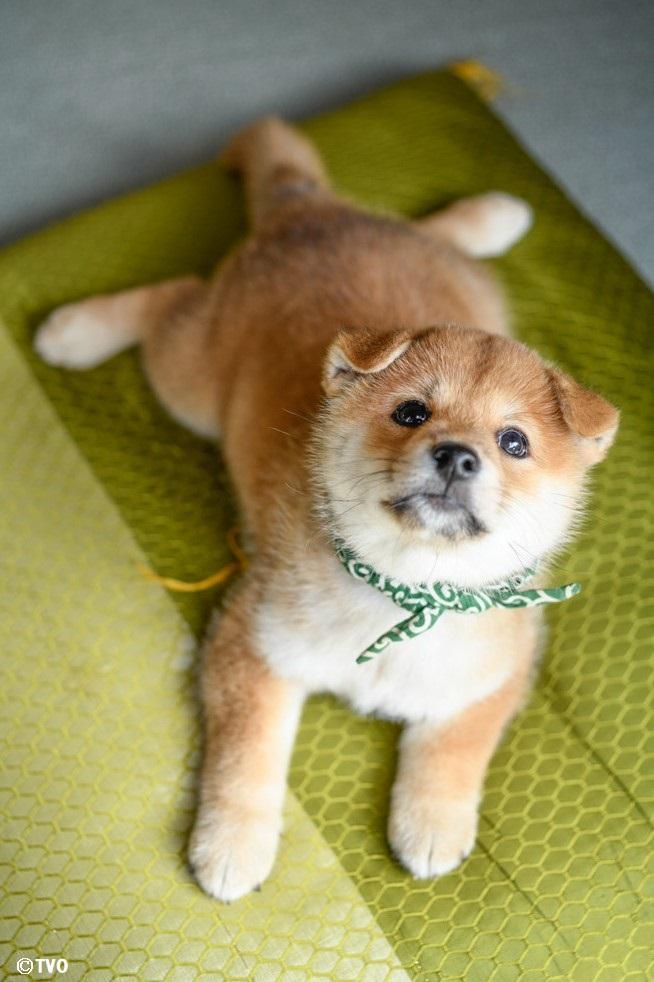 うるうる目🥺で見上げる豆助。😍22代目豆助。😚#柴犬 #shibainu #豆助 #puppy #子犬 #イッヌ #癒し