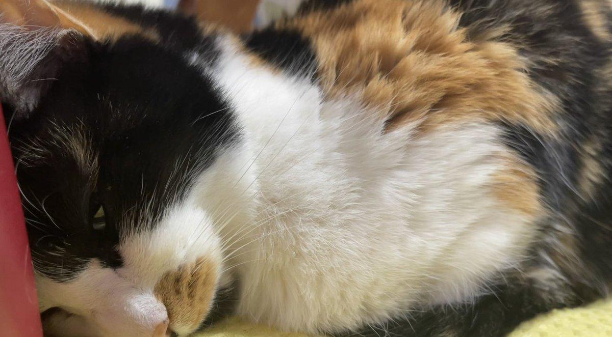 新しい動画です。グラビアもいける猫のひーお嬢様。  @YouTubeより