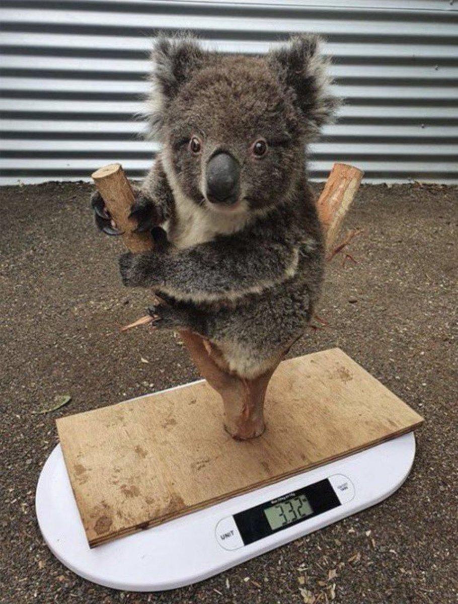 コアラの体重の測り方可愛すぎる