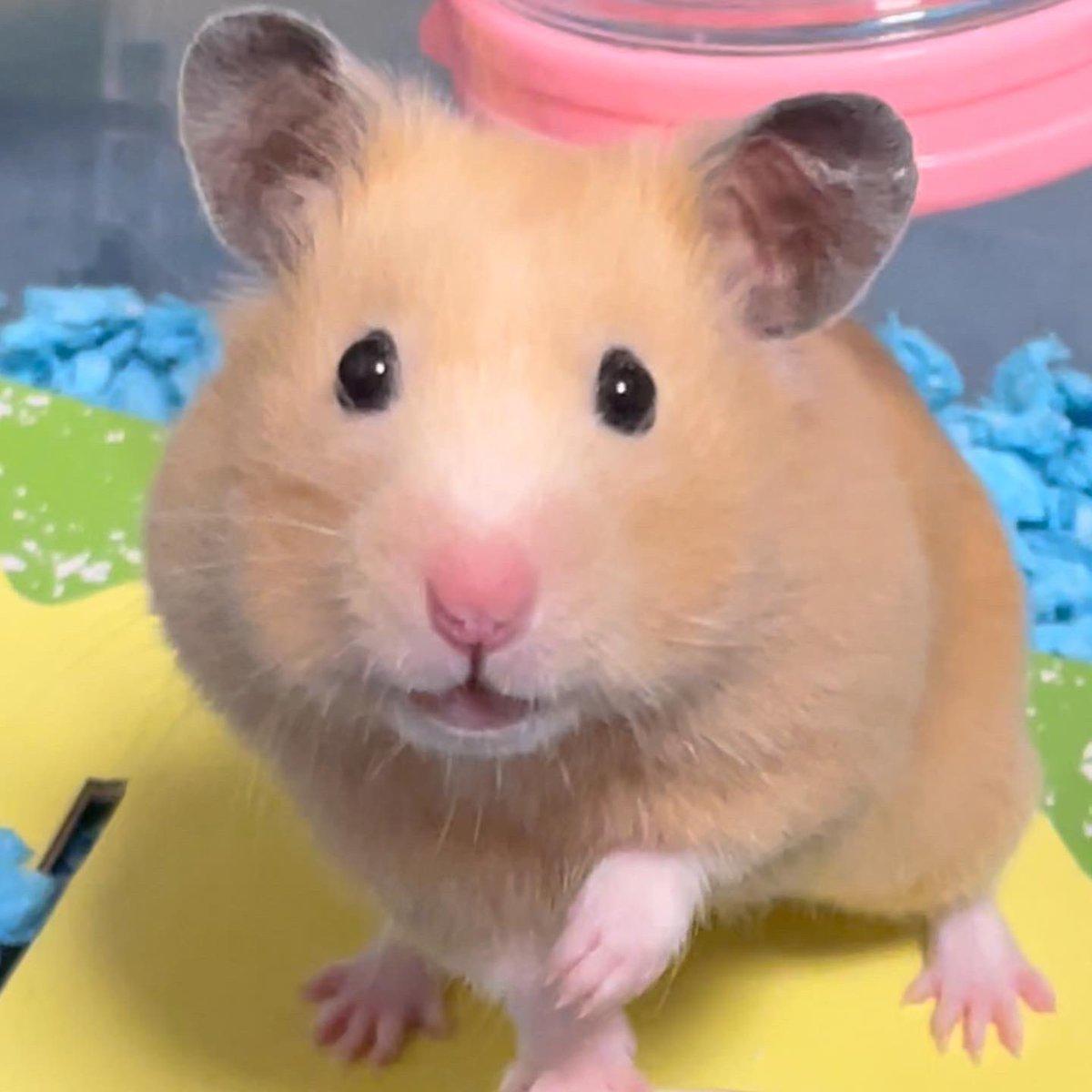 本日のベストショットです😊この度、スズリにてモロンちゃんのオリジナルアイテムをリリースしました^ ^良かったら観に来てください✨URL  #suzuri#キンクマグラム  #hamsterlover #ハムスター #キンクマ  #キンクマハムスター