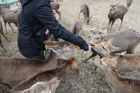 【県が対策】奈良のシカに餌やらないで、「観光客減で飢え」誤情報観光客減少で「鹿せんべいを貰えないシカが飢えている」という情報が広まり、パンなどを与える人が増加。シカの主食は草や枯れ葉などで、本来餌は与えないという。