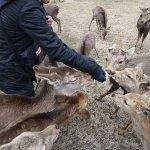 デマにより奈良のシカに餌を与える人が増えて、県が対策をすることに・・・