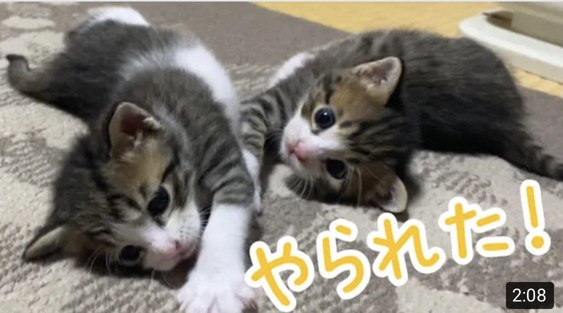 かわいいしか言葉が出ない、、、動画見て応援してください📣 収益を猫活動に使います✨