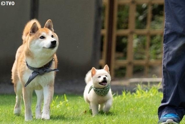 スタッフの言うことをよく聞くいいコたち。😊23代目豆助。🥰🐶#柴犬 #shibainu #豆助 #puppy #子犬 #イッヌ #癒し