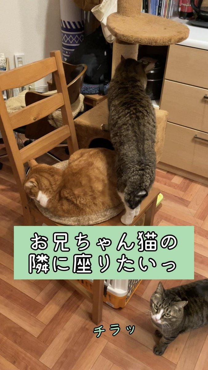 ボスがちゃしろお兄ちゃんの隣に座りたくて二匹でモチャモチャしてる動画をYouTubeにアップしました。ただ猫がモチャモチャしてるだけですがよろしければどうぞ。お兄ちゃん猫の隣に座りたい弟猫とどうしていいかわからないお兄ちゃん猫がモチャモチャしてる