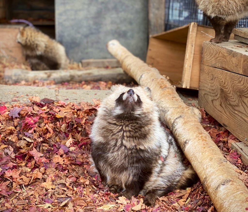 スンッ・スッ・スン・ペチャ。blog()#おびひろ動物園 #エゾタヌキ#obihirozoo   #raccoondog#今日のたぬき  #モユクカムイ