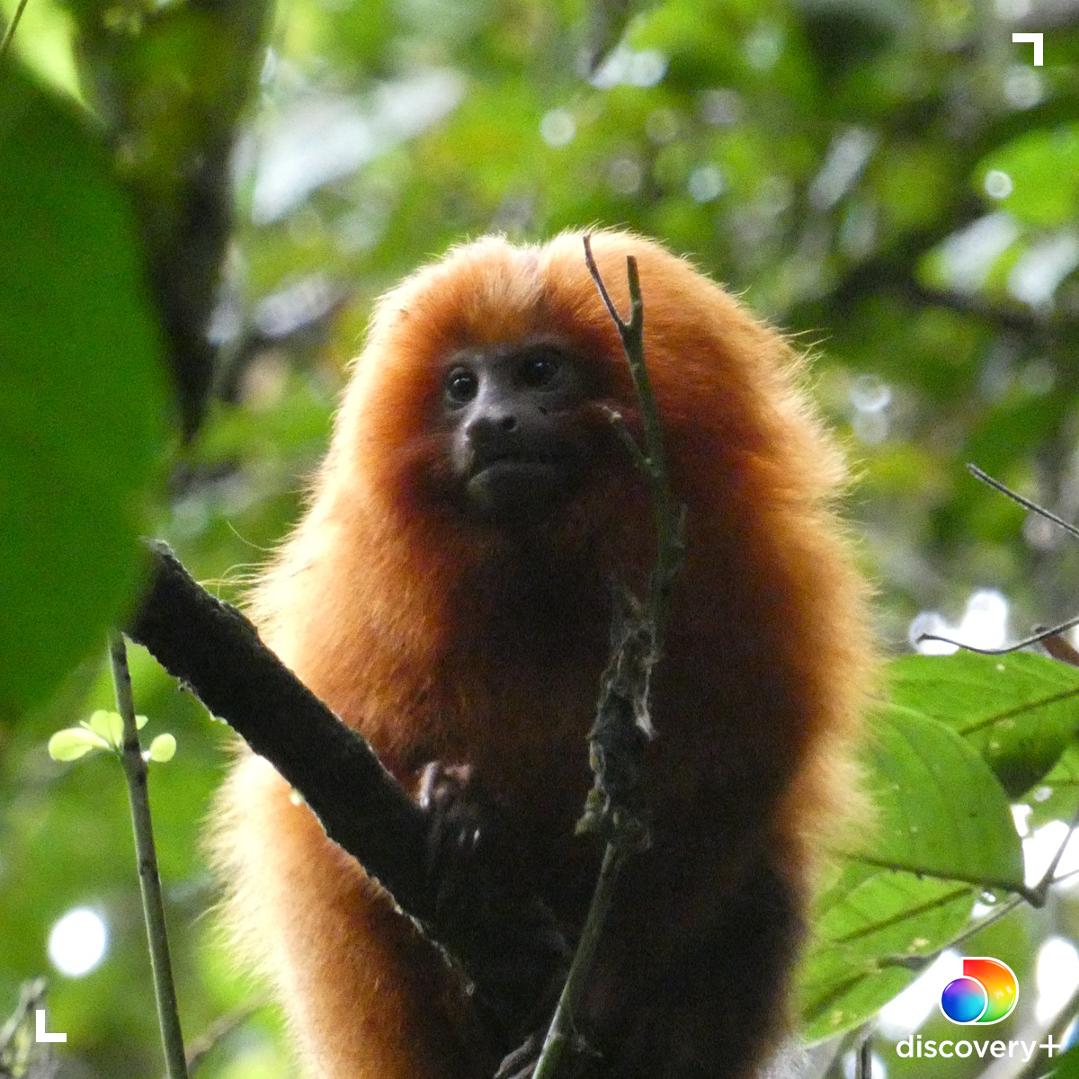 Golden lion tamarins have a distinctive reddish golden fur that makes them unique. 🐒  Learn more about these peculiar creatures in Mysterious Planet. Start streaming now on @discoveryplus.   Download and subscribe here -->