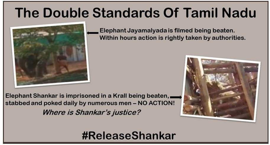 @srinivasanoffl @CMOTamilnadu @narendramodi @PMOIndia The torture and abuse of ANY elephant should be a crime! STOP the torture of Shankar NOW! #ReleaseShankar #WorldWildlifeDay2021 #InYourHandsIndia