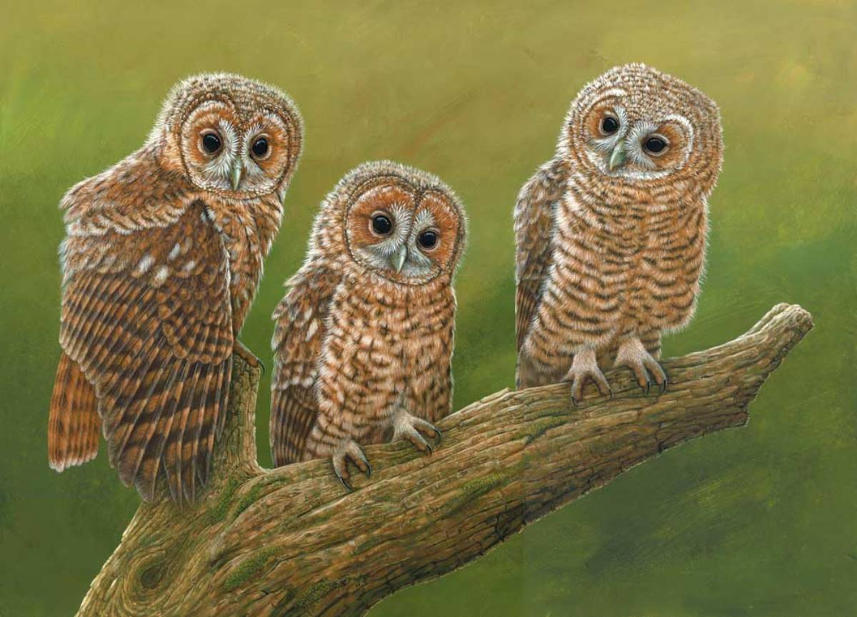 To celebrate #NationalWildlifeDay I'm sharing this painting of three tawny owl chicks 🦉🎨 Since I'm expecting two new chicks to hatch live on my livestream any day now. Watch it here👀👉