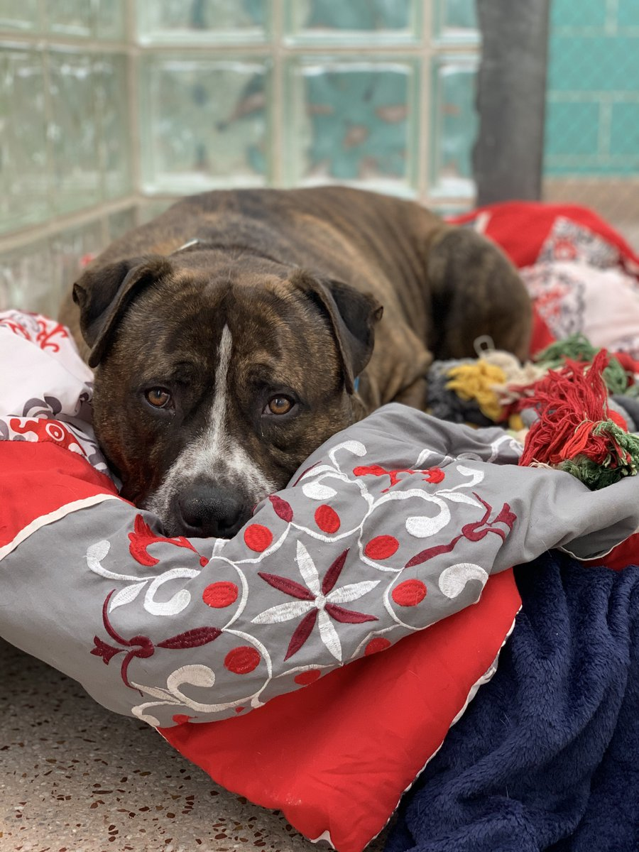 Well, it happened. Maxx has been in our care for over 300 days. 307 to be exact. As you can tell my this photo, while he may be comfortable (and spoiled) here, he is sad to still be spending his days in a shelter.   Can you help Maxx find his #furever home? #MondayswithMaxx