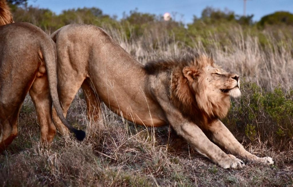 """""""We managed to get right up close to some lions as they were waking up and stretching their legs.  📸 : Dr Will Fowlds    #Big5Safari #MalariaFree #BucketListSafari #WhenOnSafari #OnlyInAfrica #TravelSouthAfrica #SouthAfrica #Travel #TravelSA #TravelZA"""