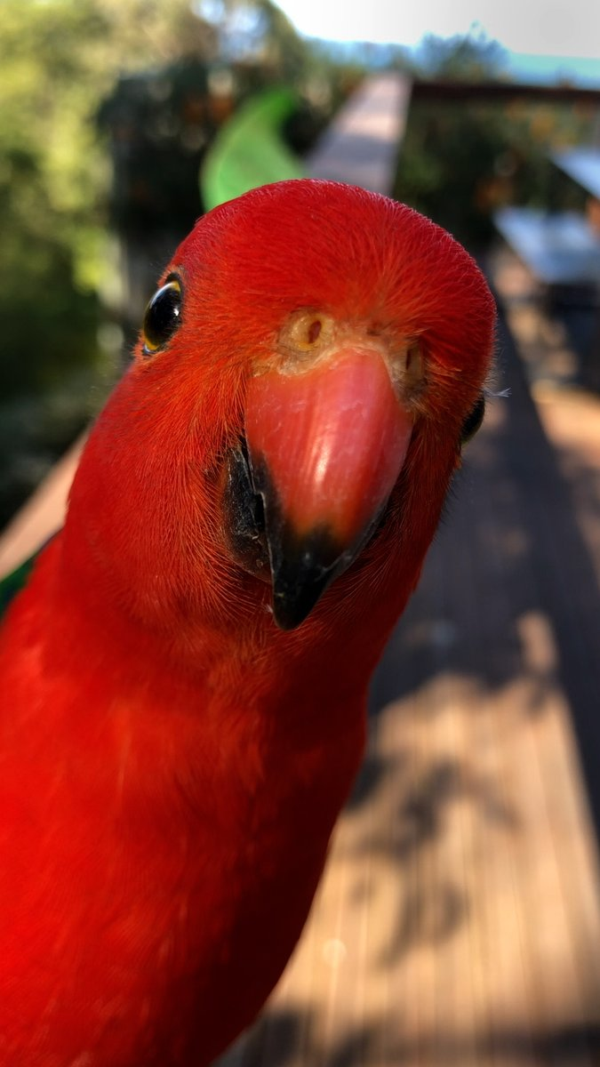 Every day the most magical wild birds visit this woman's porch — but she wasn't prepared for a bright red parrot to befriend her and bring his girlfriend over to meet her ❤️️ @dodo