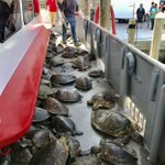 Image for the Tweet beginning: Update: Turtles headed for release  See