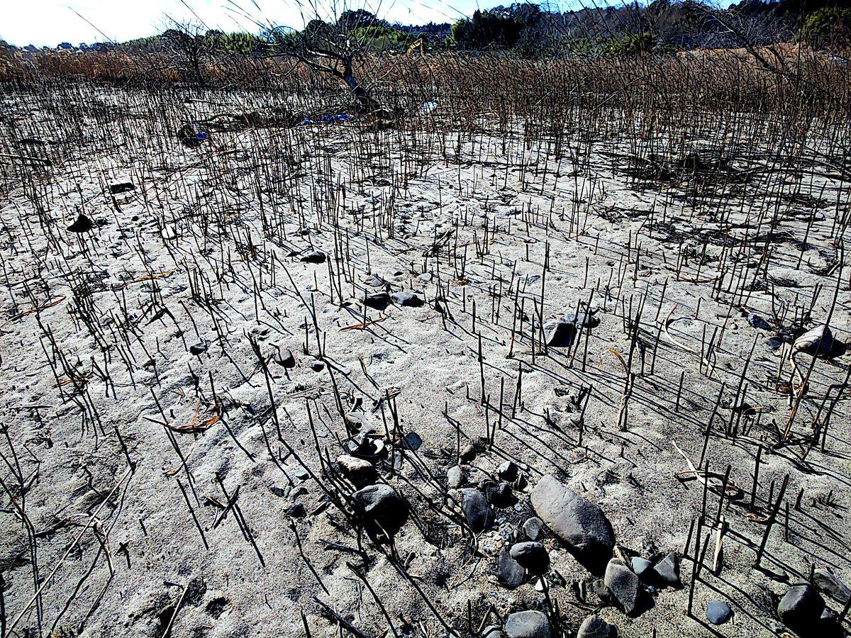 無法者たちが犯した自然破壊の現場です。ニュースにも出てましたが、強風時にこの場所で焚き火 バーベキューをしているグループがいたらしくその後火事になってこんな状況に… ここはただでさえ火付きの良いススキの穂が密集していたエリアで、そもそも禁じ手の直火をした結果がこのありさまです。