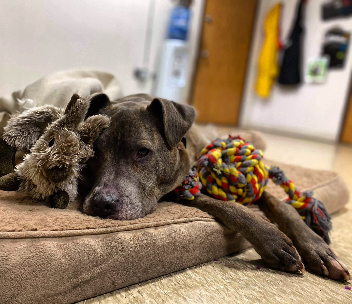 WAITING... WONDERING... HOPING... SOMEONE WILL CHOOSE HIM   #rescueonly #k9hour #rehomehour #forgottensoulshour @SilentV91140832 @GRShares   Town of Brookhaven Animal Shelter 300 Horseblock Road Brookhaven, NY 11719 (631) 451-6950