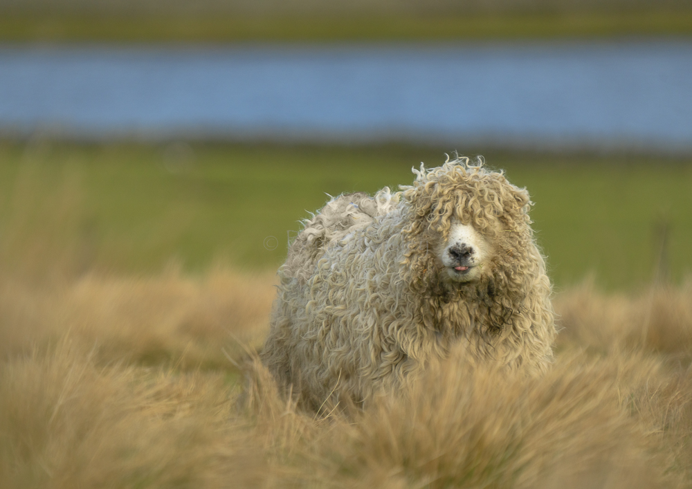 We don't start lambing til 20th March.  Mildly concerned the woolly things are going to explode before then.  My word, some of them are colossol! #sheep #sheepoftheweek #fattuesday @BritishWool @Campaignforwool @FarmersWeekly