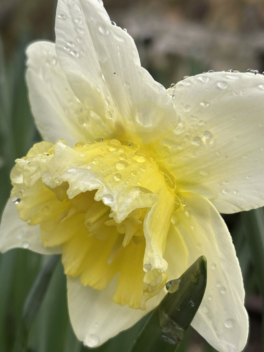 Los almendros y los narcisos florecen a finales del invierno, ya nos estamos preparando para el espectáculo de la primavera. Os quiero feliz martes!