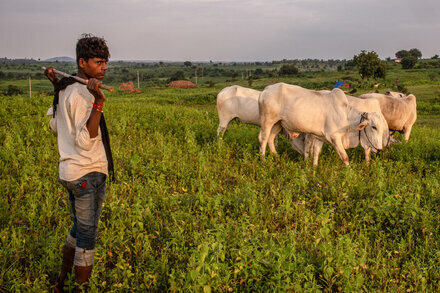Do India's Cows Have Special Powers? Government Curriculum Is Ridiculed Photo