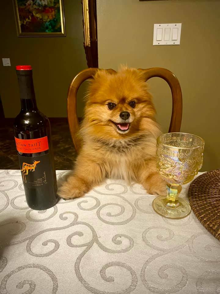 I been expecting you human! Let's get our classy drink 🍷 on! Woof woof! 🐾🐶 #Pomeranian #abc7eyewitness #puppygram #weeklyfluff #pomstar #woofwoof #thedailypomeranian #pomeranianlife #barkshop #puppiesofig #goodmorningamerica #doggy #barkbox #thepuppytown #doggylove #wine #wi…
