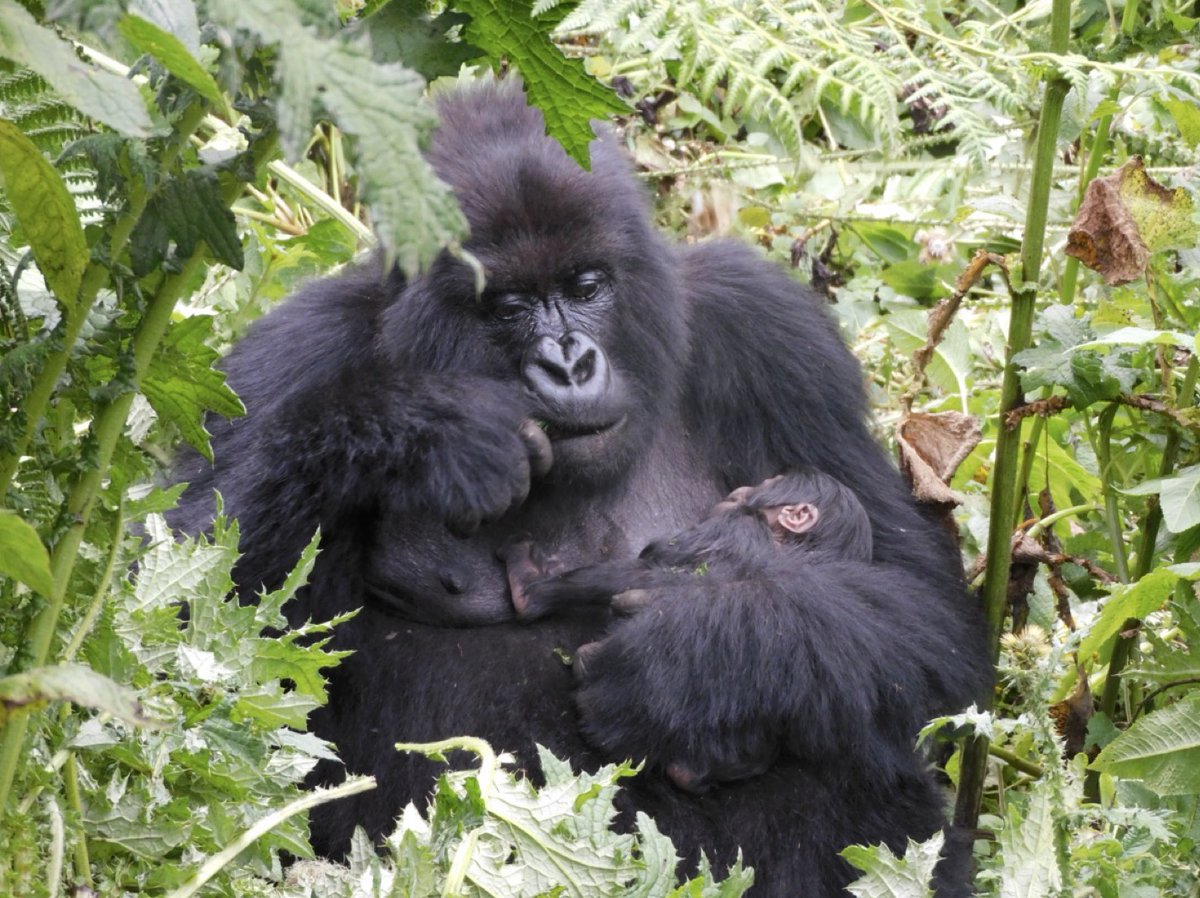Good news!! There are new baby gorillas to swoon over! 2021 is looking good! 🦍🦍❤️🎉  📷:@SavingGorillas #goodnews #weneedgorillas #babies #conservation #gorillas