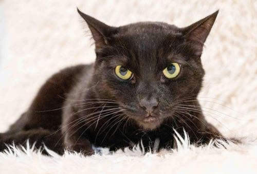 """🙏🏽PLZ SHARE 💖HANDSOME 4.5YO BLACK KITTY """"LUCAS""""💖 🔊NEEDS A🏘#FOREVERHOME🏘 ▶4 INFO  ▶🎥  🙏🏽#ADOPT #AdoptDontShop🍀#AdoptABlackCat🍀 #ACAMPO #CA #SANJOAQUIN CO (NEAR LODI) ✅CATS✅ADULTS @mainecoonadopts (CP)  #CATS #US #RehomeHour"""
