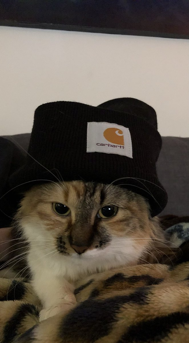 @CashApp Here's a picture of my cat with a beanie please send me money so I can give her lots of snacks