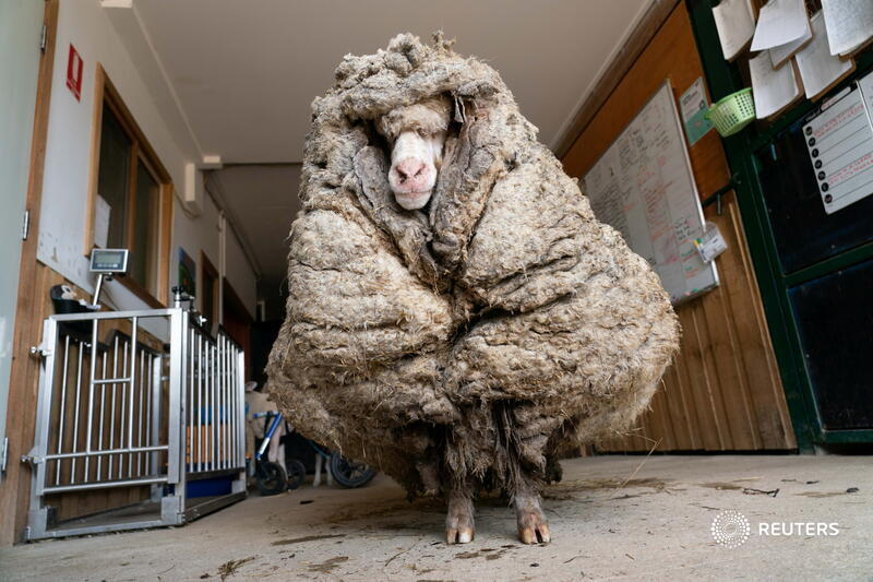 Baarack the sheep, found wandering wild in an Australian forest, was liberated from years' worth of wool weighing 78 pounds. More photos: