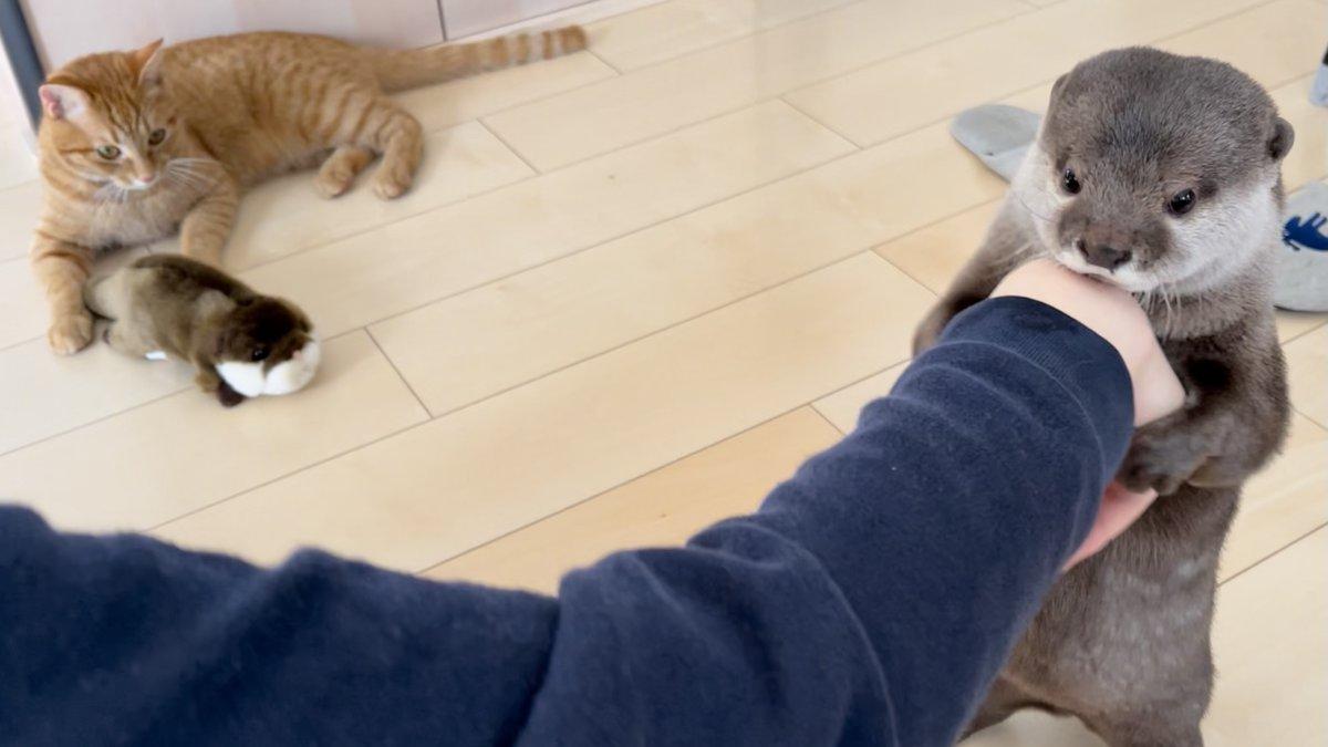 おにゅーのぬいぐるみをとったり取られたり譲ったり面白いカワウソ猫