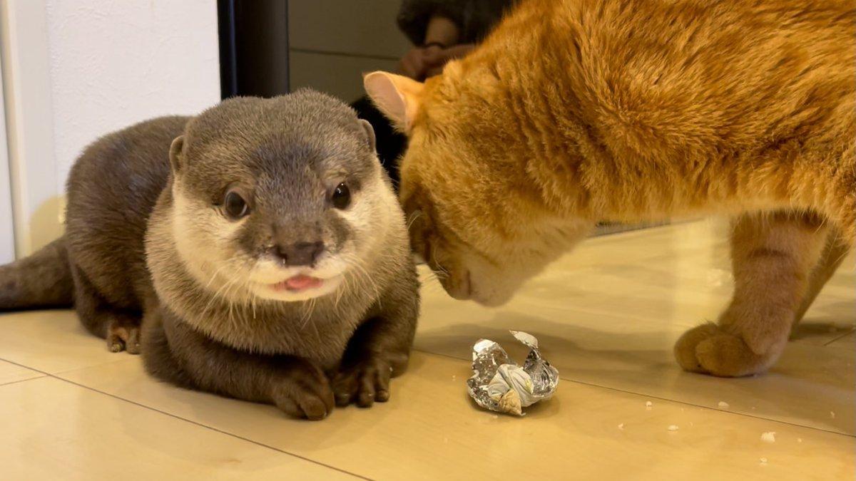 バレンタインにカワウソ♀から猫♂へプレゼント!