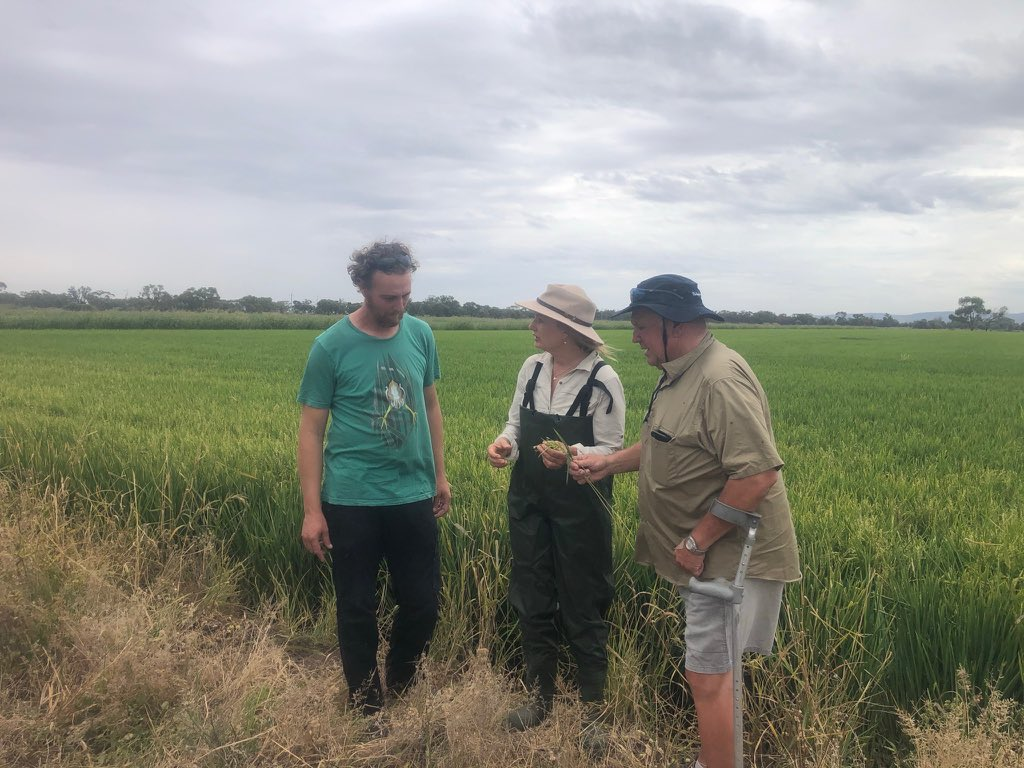 Thanks so much @sussanley for taking the time and keen interest in the Bitterns in Rice project. A project with a long history of collaboration and participation by many people. Our Bitterns are breeding!! @LLSRiverina @ricegrowers @Matt_HerringOz