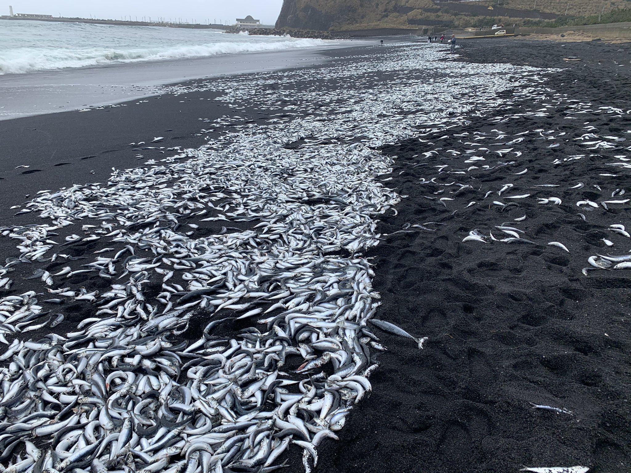 三宅島に大量の鯖が打ち上げられている画像