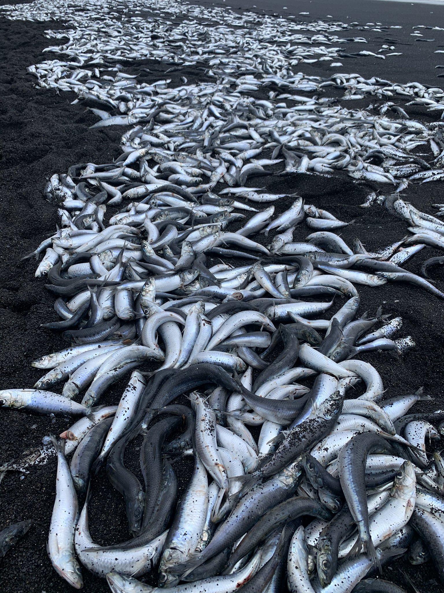 三宅島の魚が打ち上げられた海岸の画像