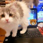 在宅勤務の方に聞きたい!可愛すぎてどかせない…。仕事中に飼い猫がデスクの上に来る時どうしてる?