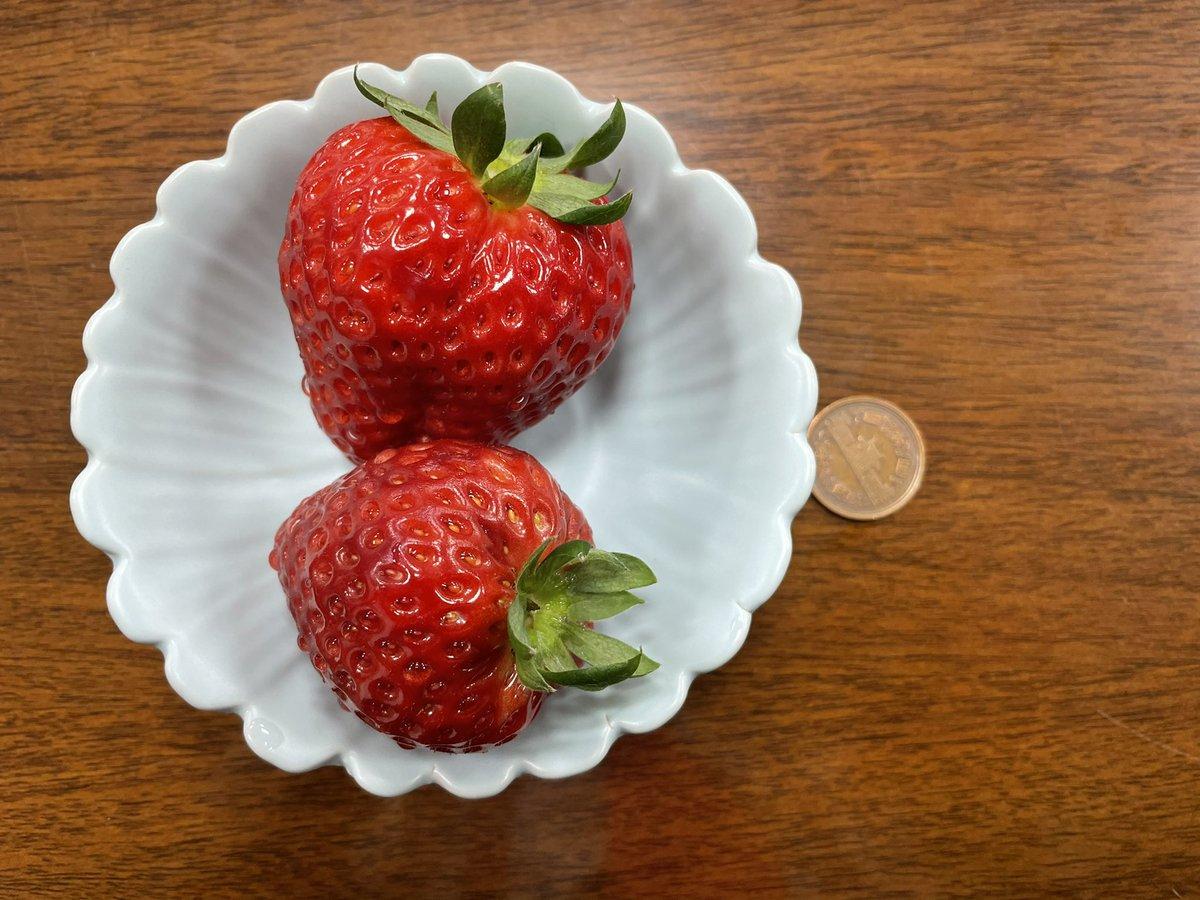 栃木県産の苺、スカイベリー。10円玉と大きさを比べてください。