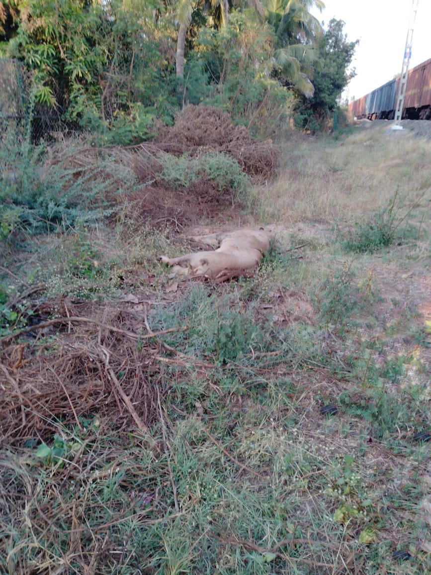 Lion hit by train to Pipavav Port dies during treatment due to serious injuries