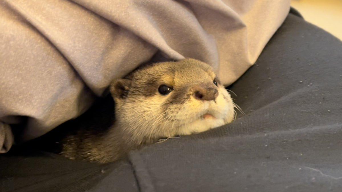 飼い主の隣から出てきて、寝起き直後なのにぷきゅんぷきゅんうるさいカワウソ
