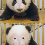アイシャドウは大事?パンダの目の周りの黒い模様がなくなった結果!