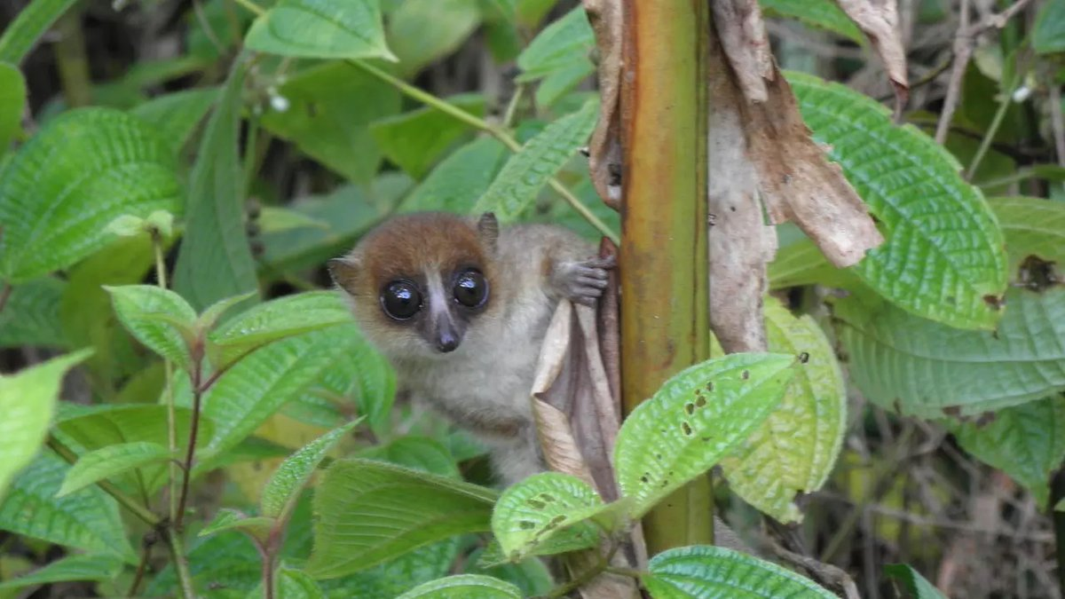 2020 was rough, but we found some good news in Madagascar! A whole new tiny lemur species was discovered! Meet the mouse lemur, Microcebus-jonahi! We are in love! ❤️ ❤️  #goodnews #conservation #lemur #tinyprimate