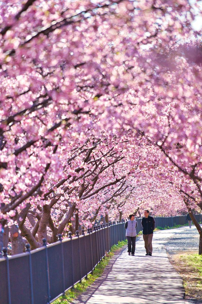 春の訪れ  #KawazuCherryblossoms #Cherryblossoms #KawazuCherryblossomsFestival #Kawaz  #東京カメラ部 #tokyocameraclub #ThisWeekOnInstagram  #nationalparksjp #富士箱根伊豆国立公園  #みなみの桜と菜の花まつり  #いいね伊豆  #はなまっぷ
