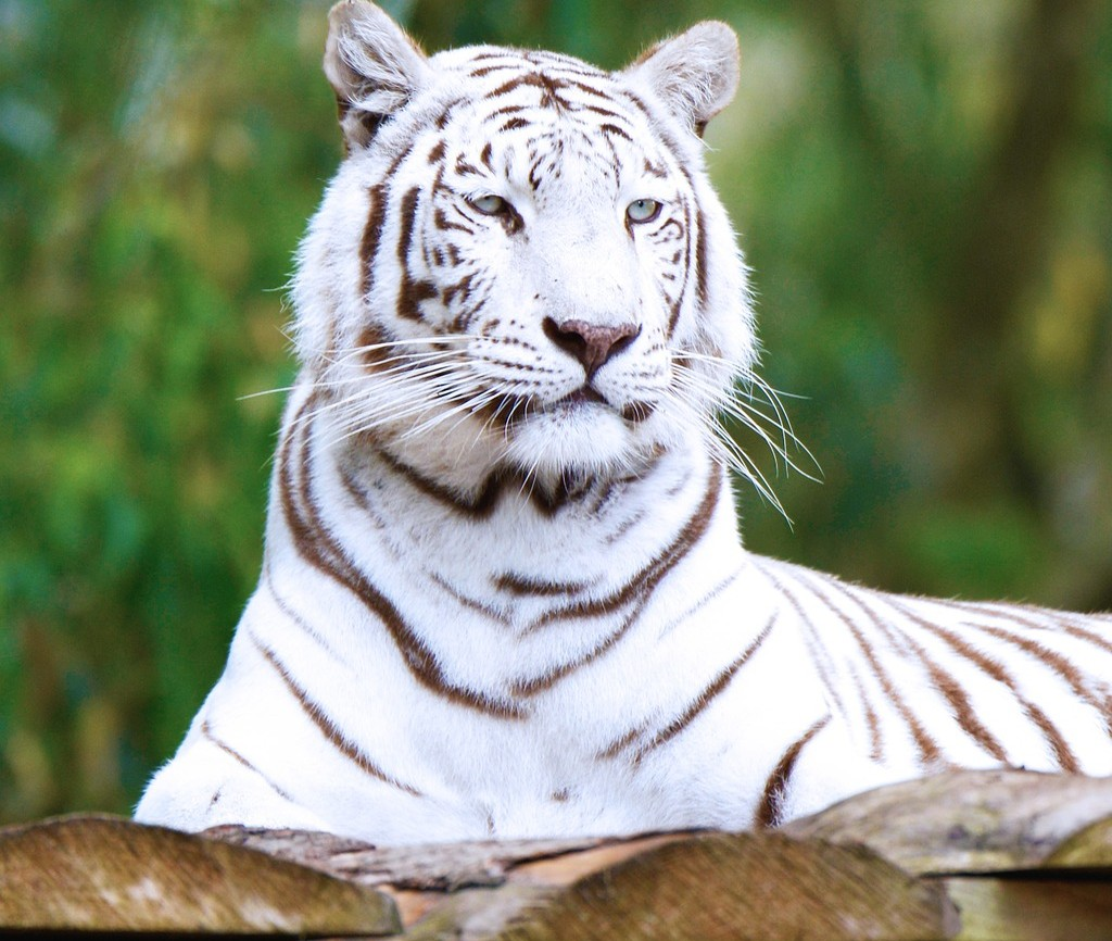 Question of the Day - Now that both Siegfried and Roy have passed away, what will become of their animals at Mirage? #lva #qod #lasvegasadvisor https://t.co/3mwUvO6v0F https://t.co/IGVGy6BLE8