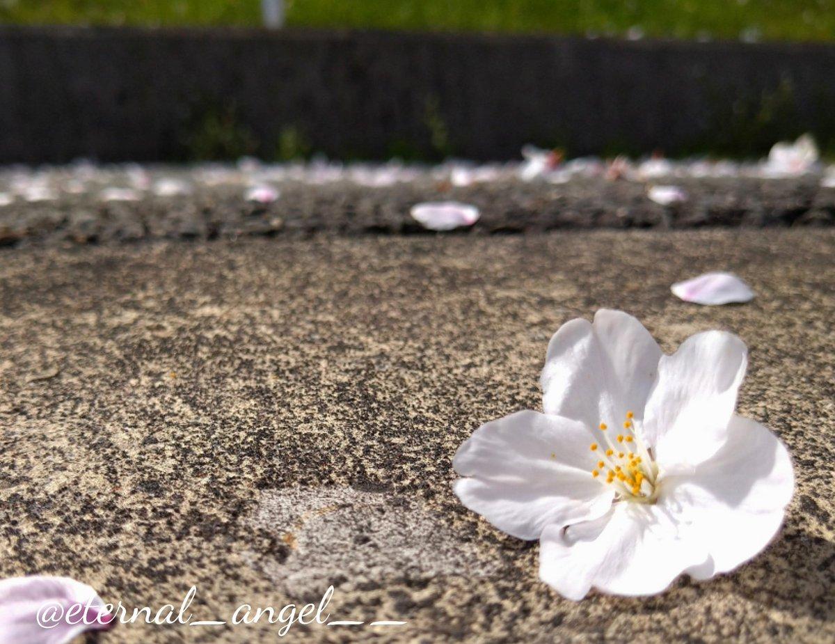 は 降る 夜 桜 が