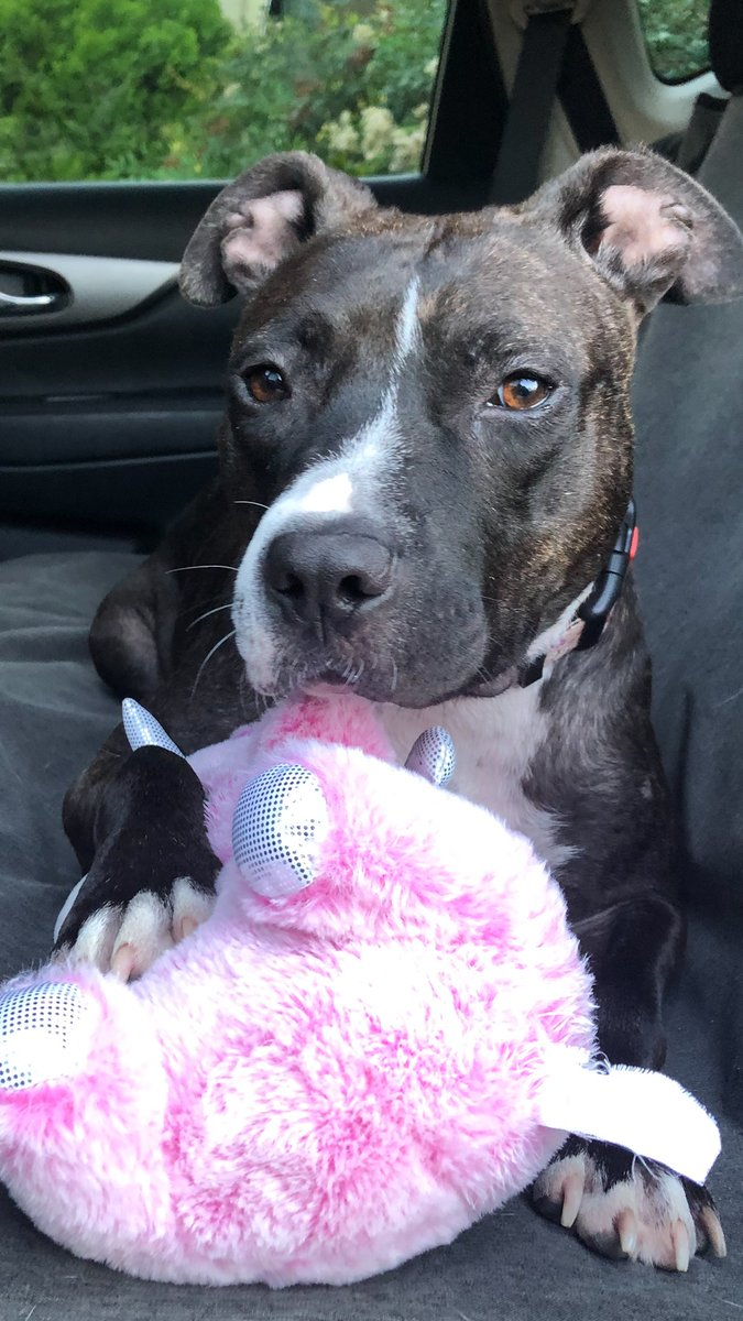 Pittie who was chained up in a backyard becomes obsessed with stuffed animals 🥰️