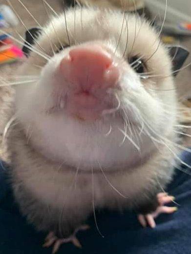 Possum Every Hour (@PossumEveryHour) on Twitter photo 18/02/2021 00:01:52