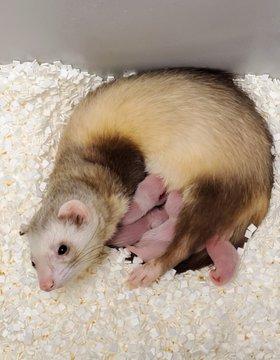Kits de alimentación para madres sustitutas de hurón de patas negras