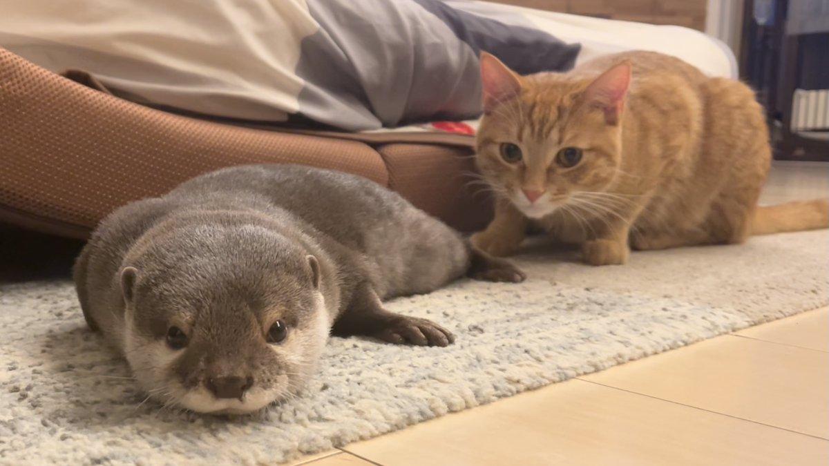 カワウソと猫どっちも飼ってると毎日たのしい