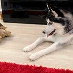 ハスキー犬が一緒に寝たい相手は大きなカメさん!二匹とも寝顔が安心しきっているw