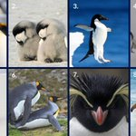 Image for the Tweet beginning: Which penguin are you today?