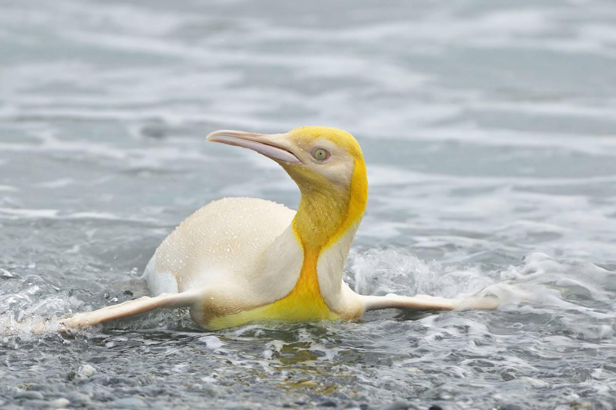 Wildlife photographer snaps shot of 'never-before-seen' yellow penguin