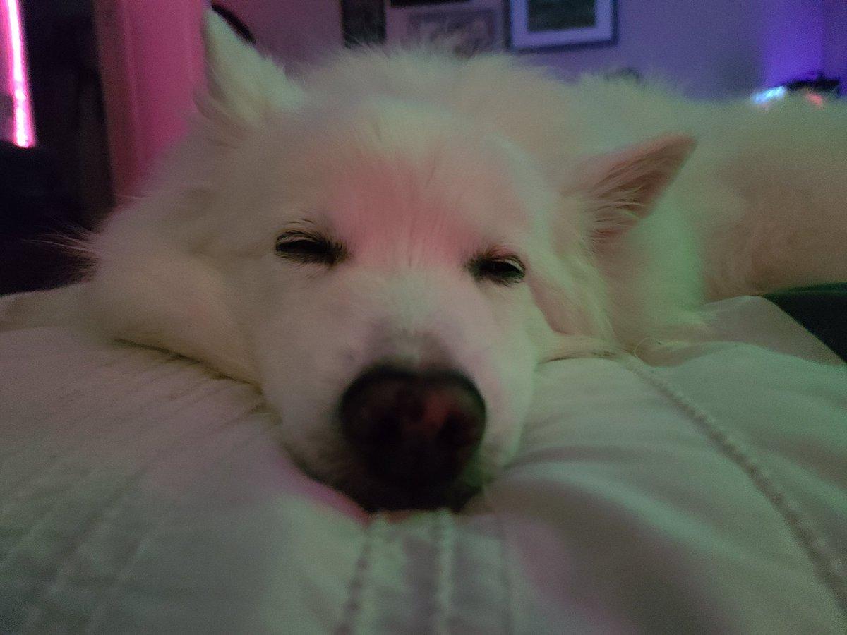 Wishing everyone a great weekend!! May you be a relaxed as Gilby 😌  #AmericanEskimo #dogsoftwitter #WeeklyFluff #FridayFeeling #WeekendFeeling #eskie